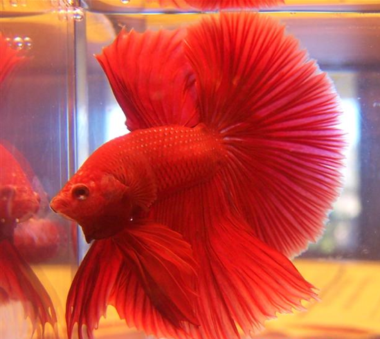 Pets fighter fish for Red betta fish