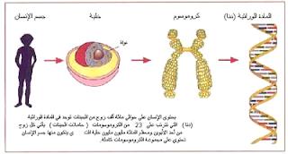 بحث عن الجينات وكيف نرثها   8_5