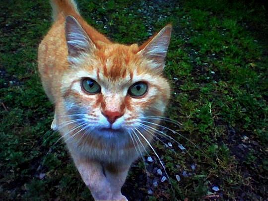 Ginger cat from Oudergem Belgium