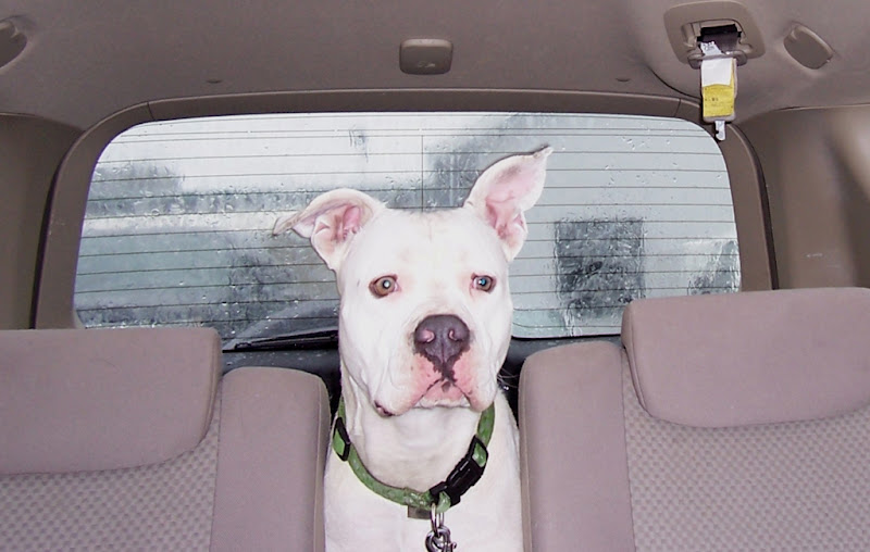 white pit bull francie with pink inner ears and pink muzzle, light grey eyes, sitting behind the back seats of car, looking toward the front