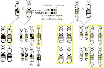 http://lafamiliapicola.blogspot.com/2015/11/genetica-apicola-la-luz-de-las-leyes-de.html