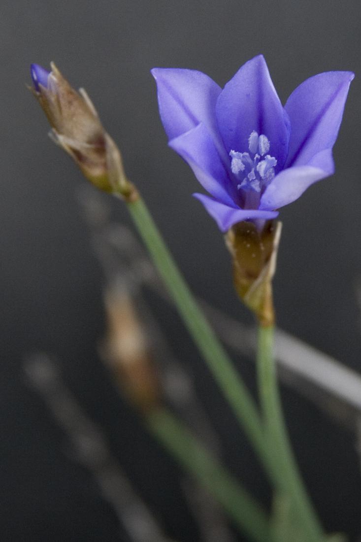 junquillo-azul