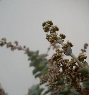 flores de la crassula perforata