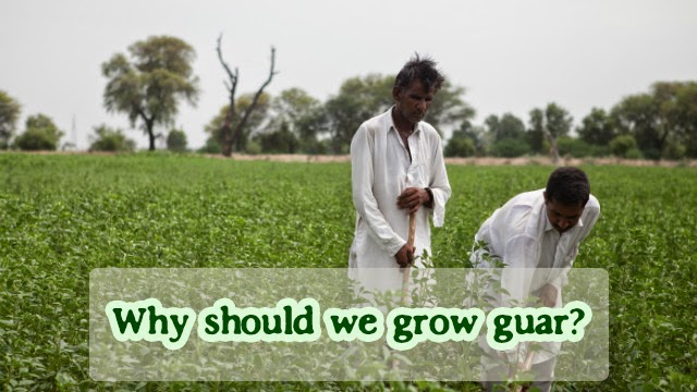 Why should we grow guar?