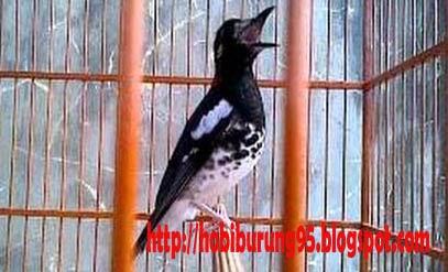 Ciri Burung Anis Kembang