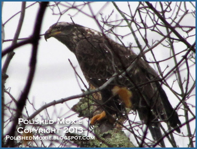 Image of immature bald eagle perched in a tree.