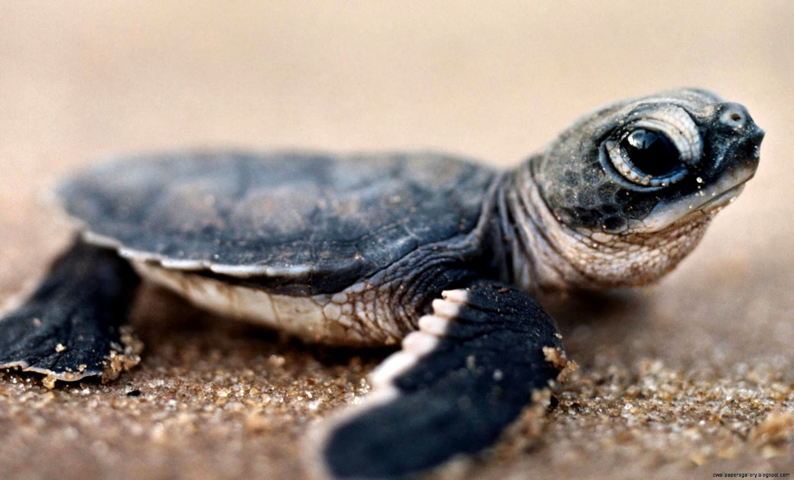 Baby Pet Turtles Wallpapers Gallery