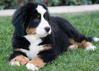Bernese Mountain Puppy PIctures
