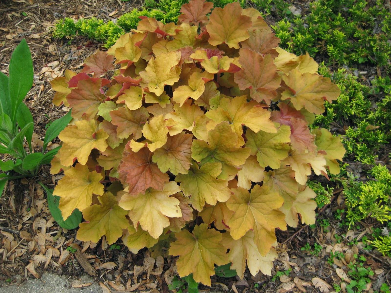 Rotary Botanical Gardens - Hort Blog: Orange Heucheras Abound