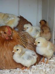 Høner og kyllinger