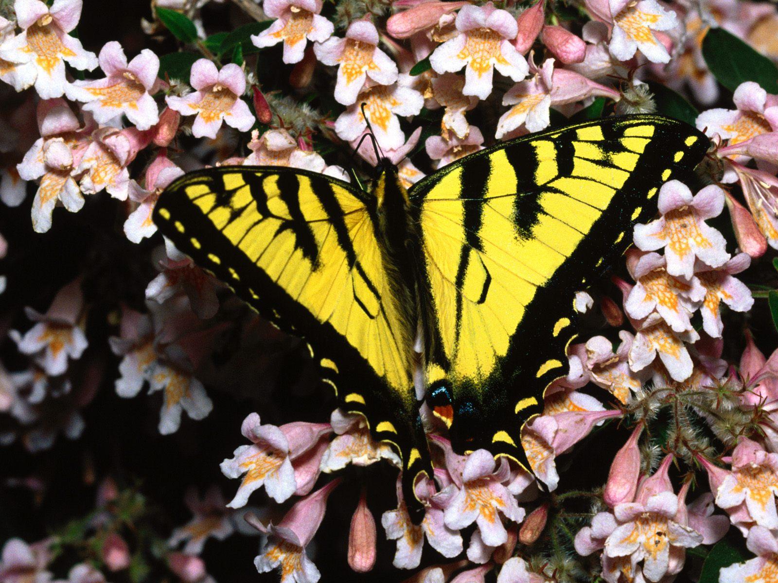 Gambar Kupu-Kupu - Butterfly Wallpapers
