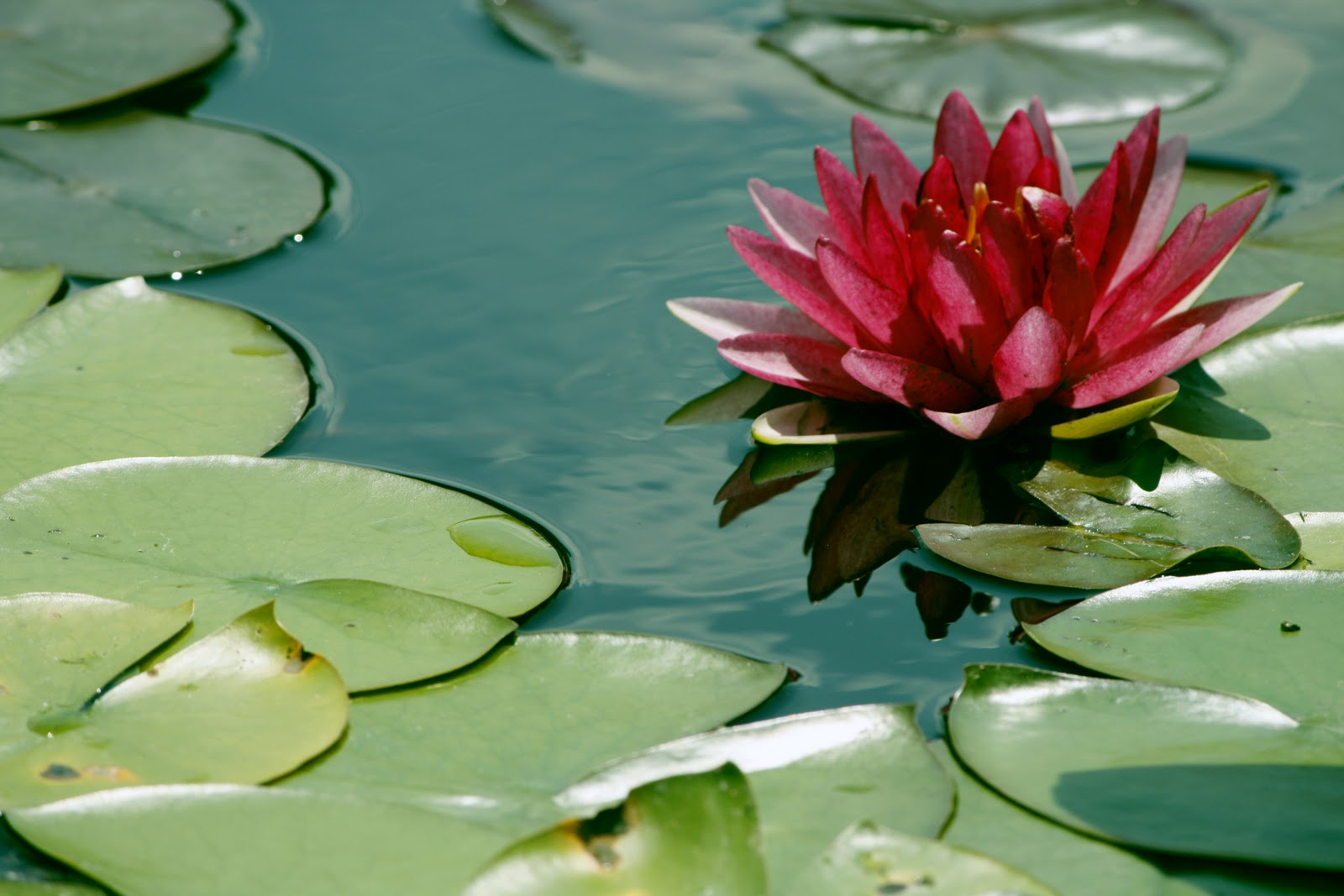 Lily pad pink flower jrs world at large a pink flower on top of a lily pad izmirmasajfo