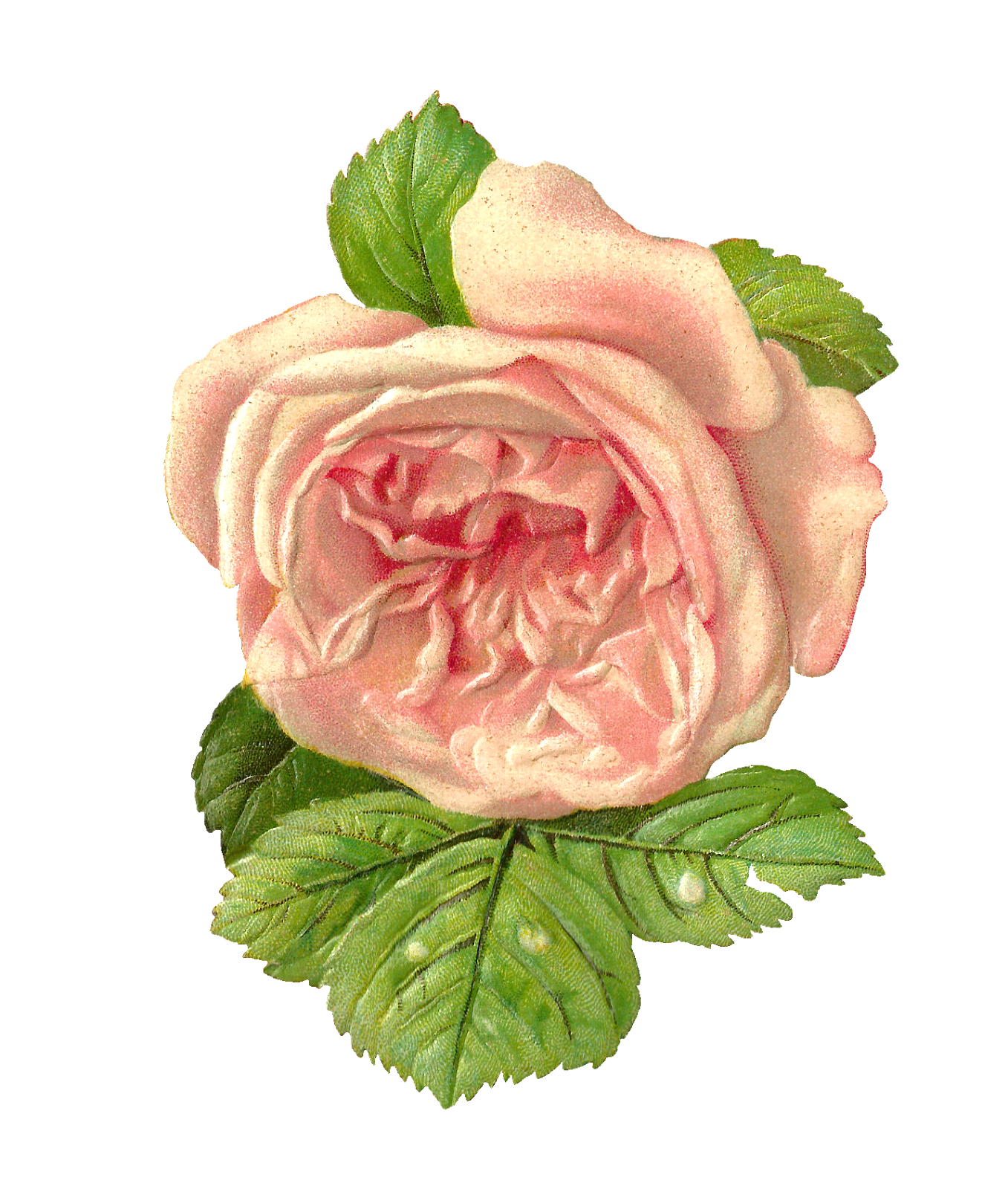 Handy image pertaining to printable roses