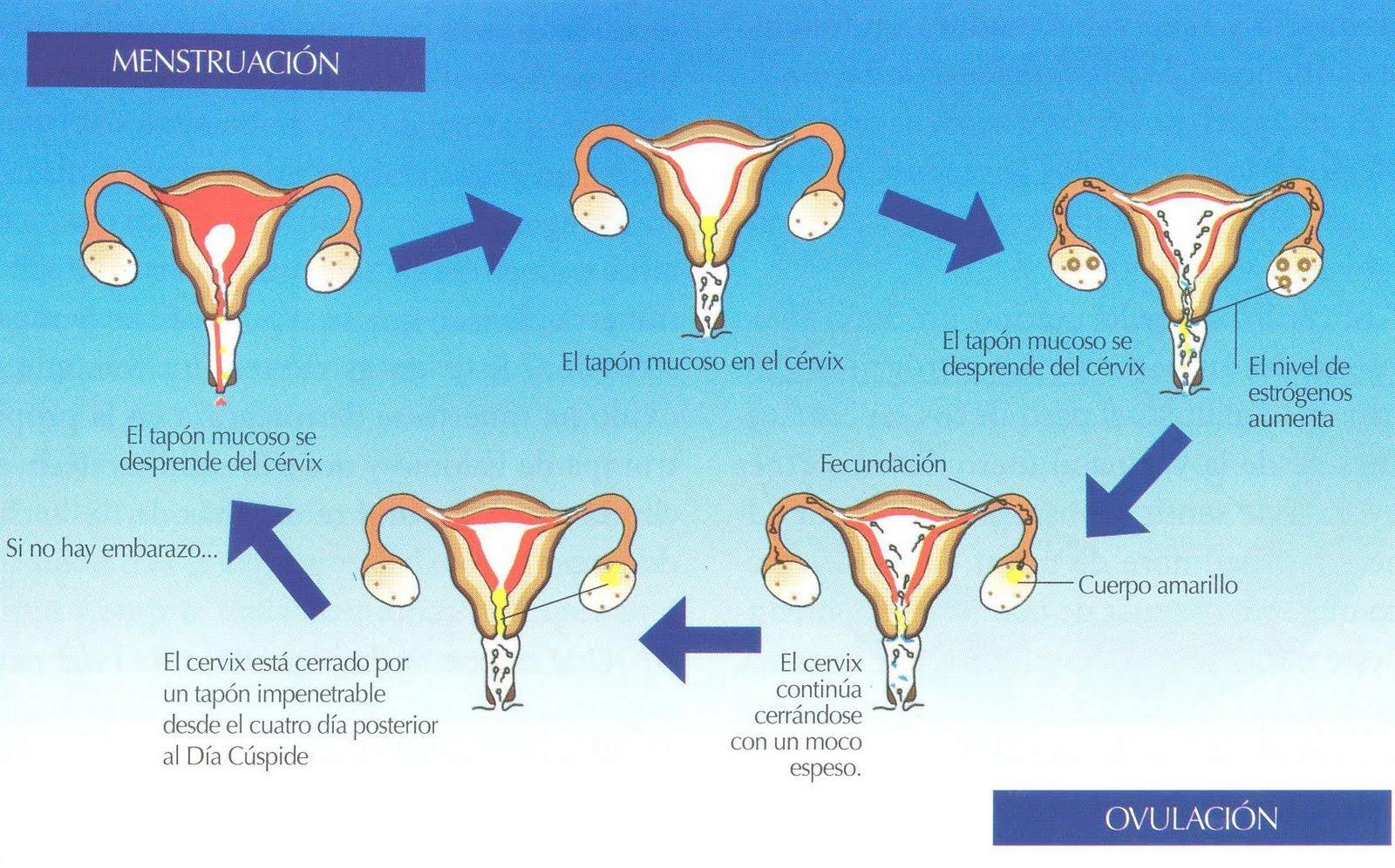 dias de no ovulacion de la mujer