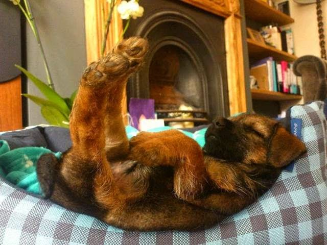 Adorable puppy sleeping upside-down