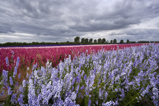 Beautiful flower field under a stormy sky www.martynferryphotography.com