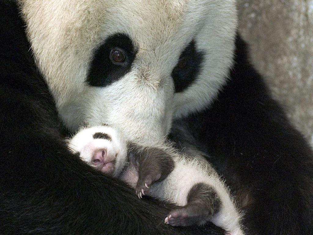 Allis Alley Wildlife Wednesday Giant Panda