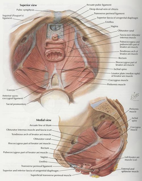 Anatomy By411 Pelvic Girdle Floor Muscles Hip Fractures. Pelvic Floor Muscles. Wiring. Male Pelvic Outlet Diagram At Scoala.co