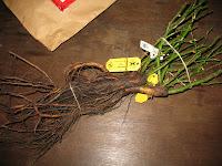 Wurzelnackte Rosen von Kordes bei der Anlieferung nach dem Auspacken