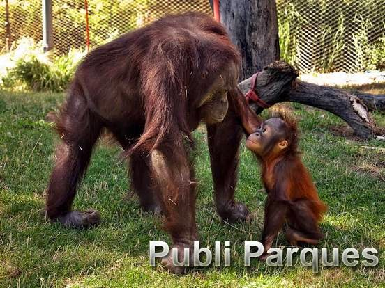 Semana del Orangután en Zoo Aquarium Madrid