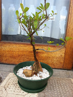 Cape Fig Bonsai 2001