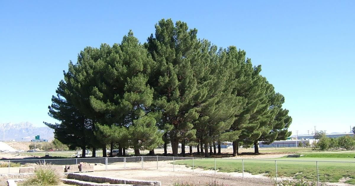 Trees that please nursery afghan pine
