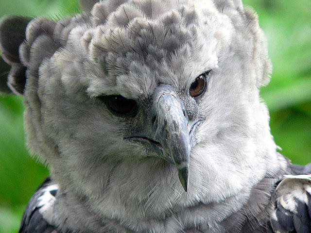 Birds photos birds wallpapers facts info 5 harpy - Harpy eagle hd wallpaper ...