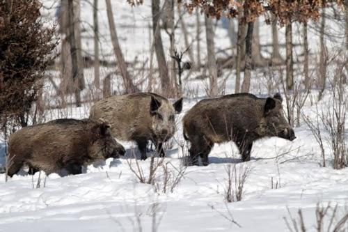FERAL PIGS/WILD BOAR