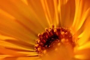 Calendula: Spouse of the Sun