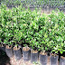 For sale: Mangosteen plants for Php (Philippine…