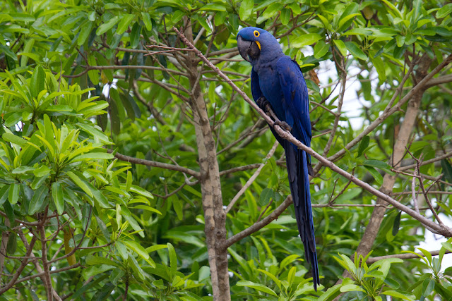 A photograph of a Hyacinth Macaw taken in the Pantanal in Brazil