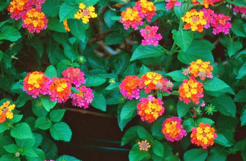 Flowers world lantana heads are clusters of tiny flowers in shades lantana heads are clusters of tiny flowers in shades of red pink yellow and orange sometimes all in one cluster mightylinksfo