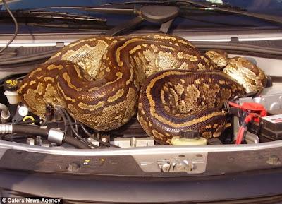 Casal dirige por quilômetros com cobra de quase cinco metros no motor do carro Article-2199106-14DCD4CA000005DC-353_634x458