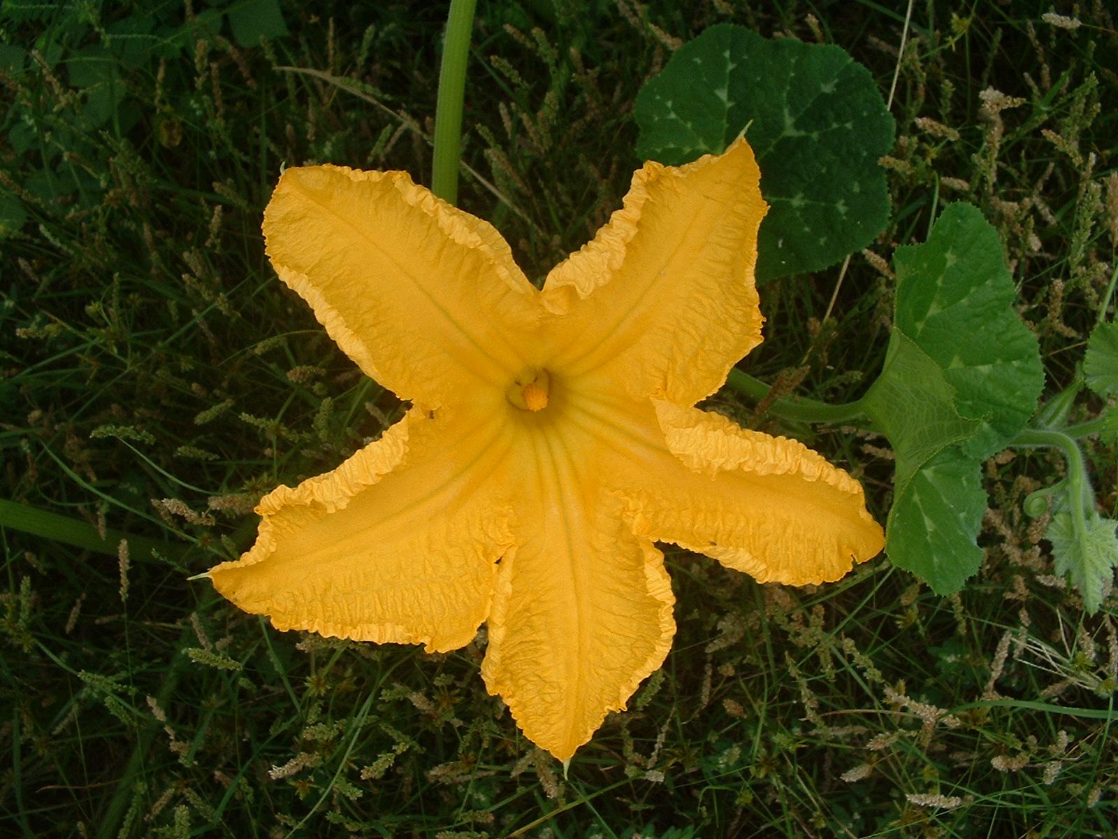 http://3.bp.blogspot.com/-kkh2tpHNe_E/TiG6cKvH52I/AAAAAAAAAW8/BXTx9wKnUbA/s1600/Pumpkin-Flower%2B-%2BInspirU-Coocoo.JPG