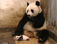 bebê panda espirando vídeo