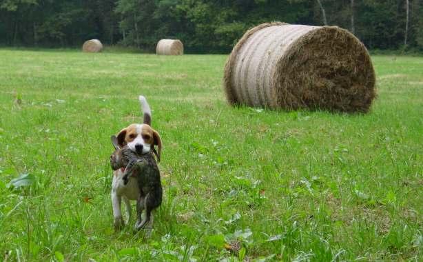 Beagle hunting fox - photo#20