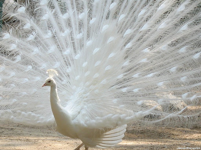 white peacock with its tail spread