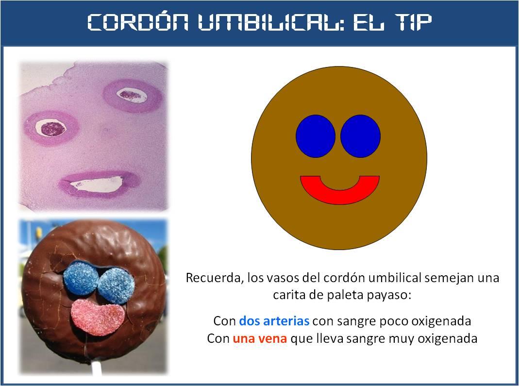 SOS EMBRIOLOGIA HUMANA: Cordón umbilical: Vasos