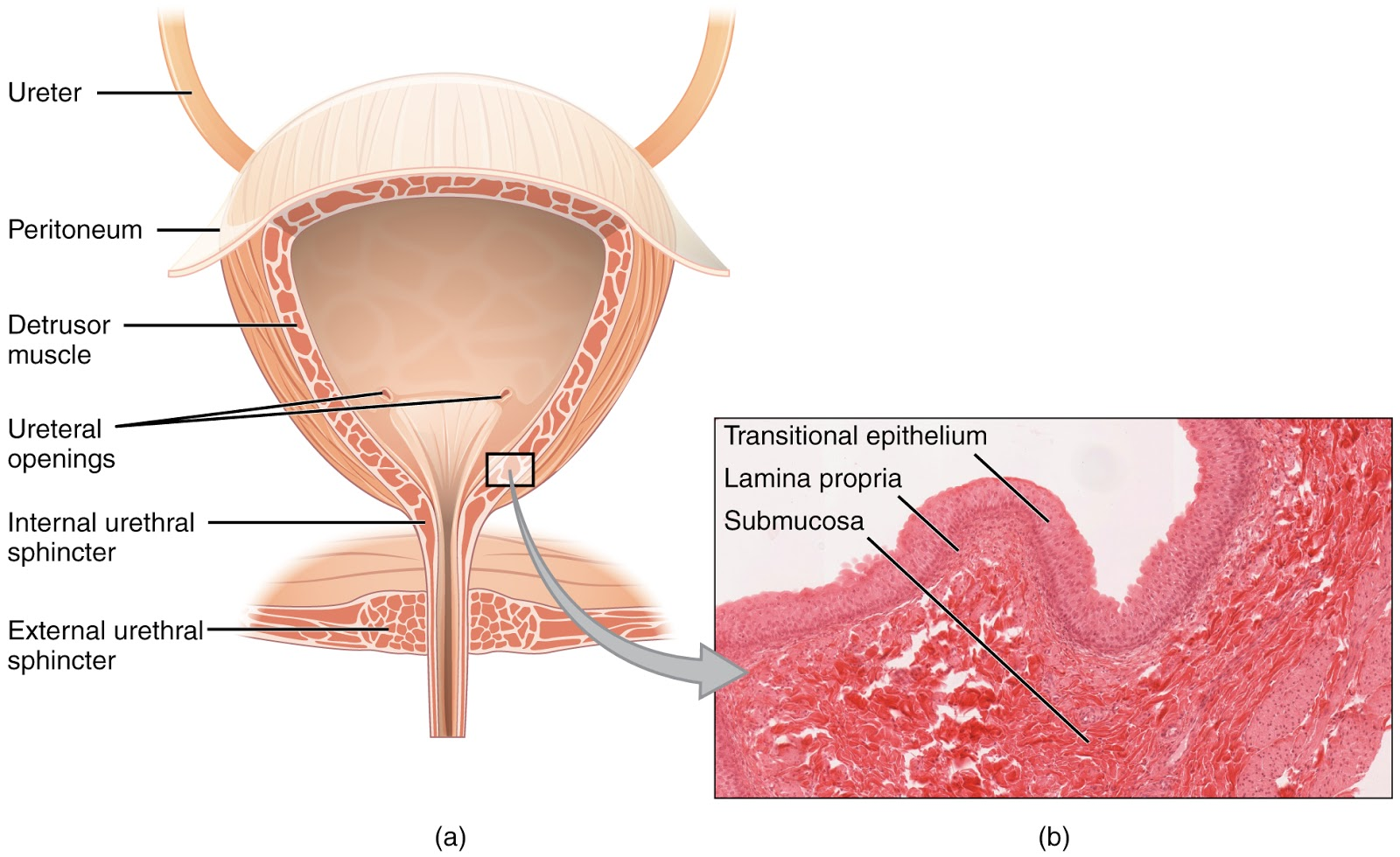 Female urethra anatomy