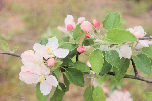 Apple Blossoms Photo 2 by Tori Beveridge