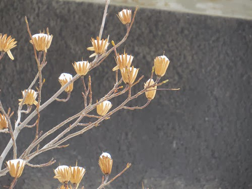 tulip tree seed pods