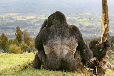 gorila e gorila bebé