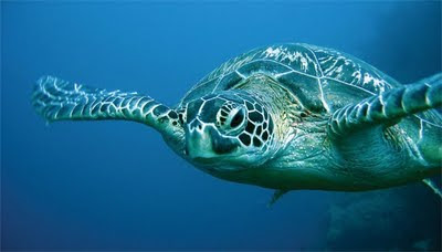 Weekend Events:  Sea Turtles, Blessing of the Fleet, and Sunset/Moonrise Tour 3  sea turtle St. Francis Inn St. Augustine Bed and Breakfast
