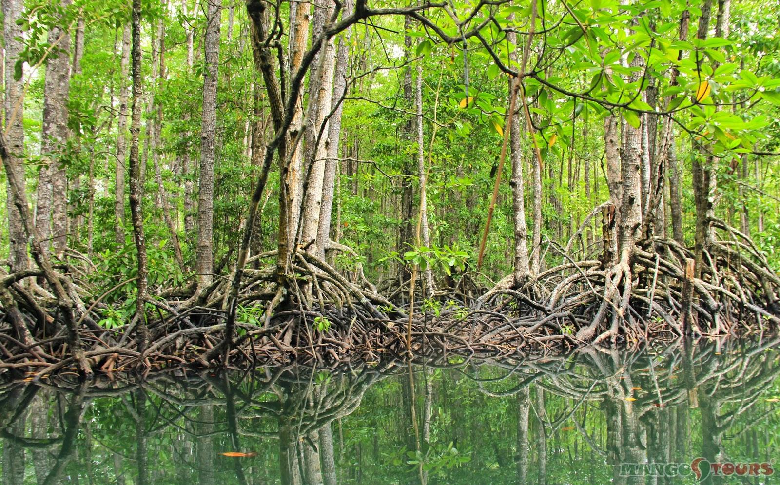 Mango Tours Puerto Princesa Palawan Mangrove Forest