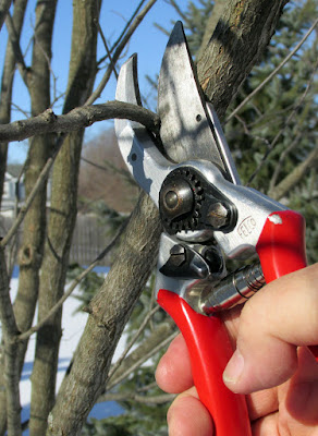 Pruners cutting a redbud branch