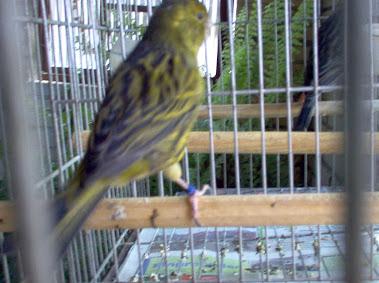 Canario Verde