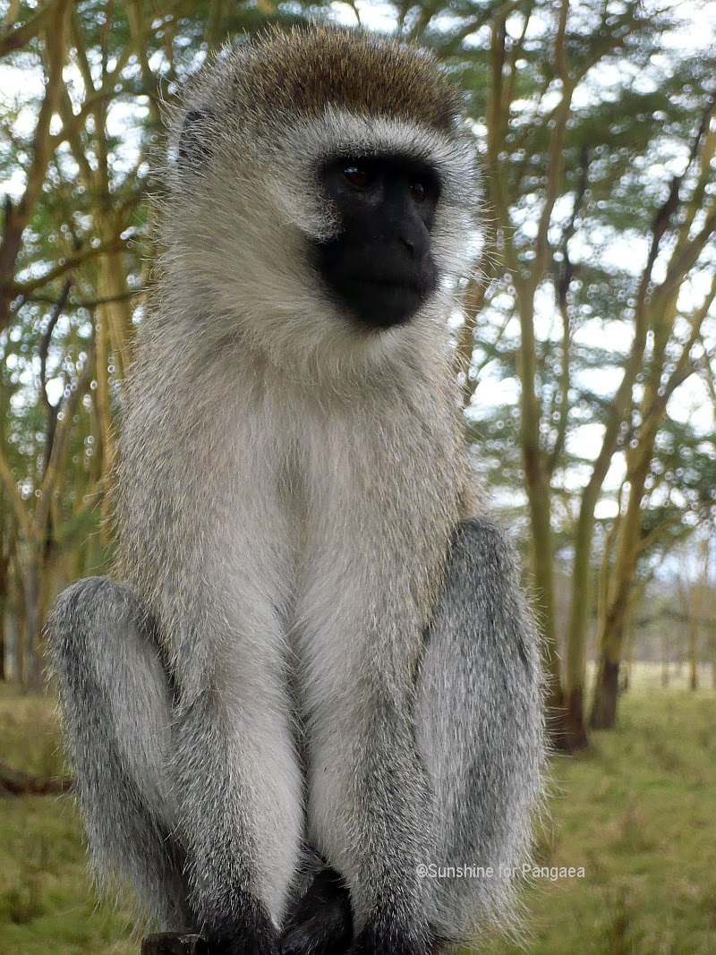 Vervet Monkey in Kenya