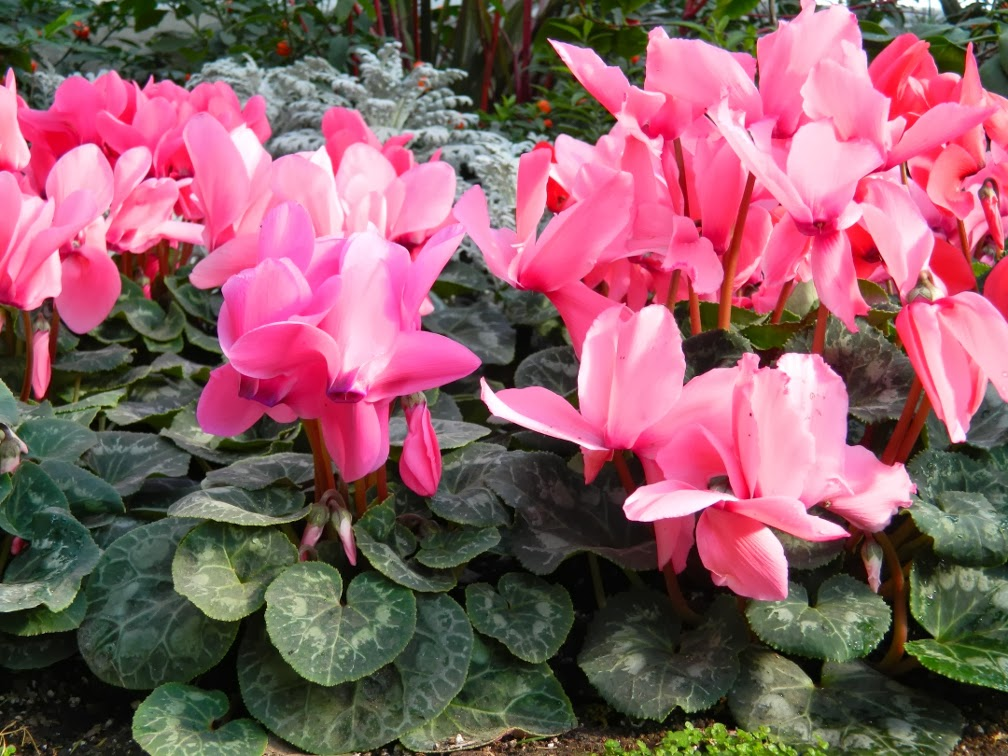 Allan Gardens Conservatory 2014 Spring Flower Show persicum cyclamens by garden muses-not another Toronto gardening blog
