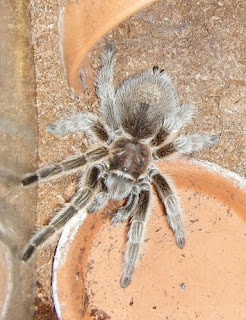 Chilean Rose Hair Tarantula