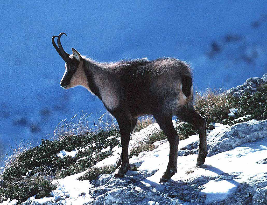 Chamois | Information and Photos | The Wildlife